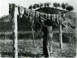 Woman jerking meat on clothes line, 1920?