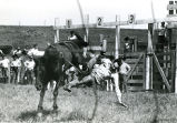Bronc riding at rodeo, 2 of 3, n.d.